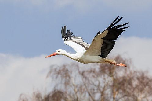 Белый аист летит над лесом
