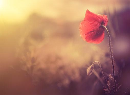 Дикий цветок мака с каплями росы