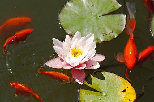 Фотообои. Фрески. Картины. Розовая водяная лилия. Озеро. Золотые рыбки. Природа