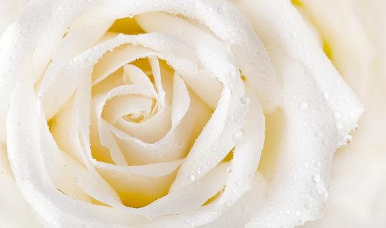 Белая роза крупным планом с каплями росы
