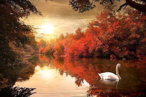 Белый лебедь на восходе солнца