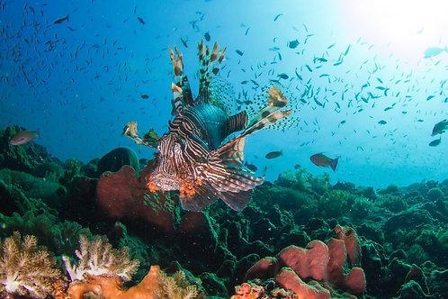 Рыба-лев и красивый здоровый риф - Индонезия