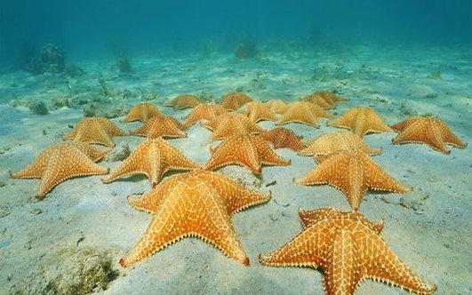 Песчаное морское дно с группой морских звезд в водах Карибского моря