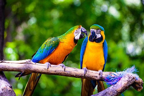 Два красивых попугая секретничают на ветке