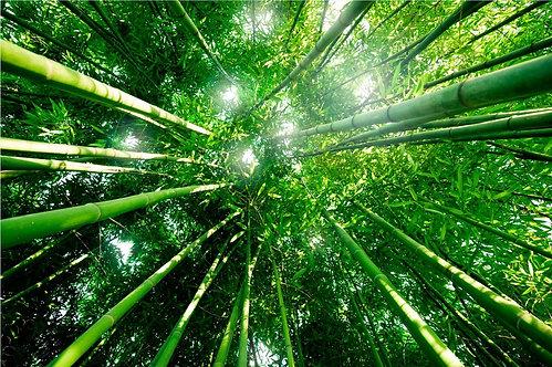 Вид снизу на бамбуковый лес в свете утреннего солнца