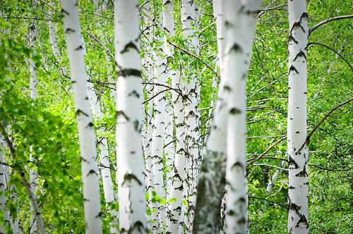 Белые берёзы в летнем лесу