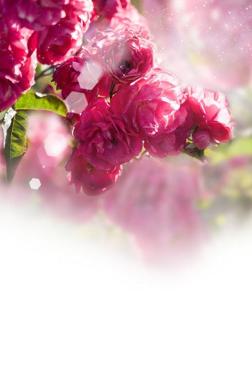 Розовые розы в лучах света на красивом размытом фоне
