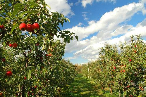Фотообои. Фрески. Картины. Яблоневый сад. Красные яблоки. Солнечный день