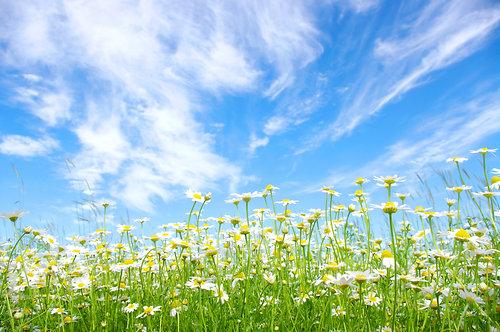 Белые ромашки на лугу на фоне голубого неба