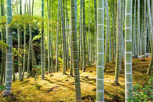 Бамбуковый лес в Киото - Япония
