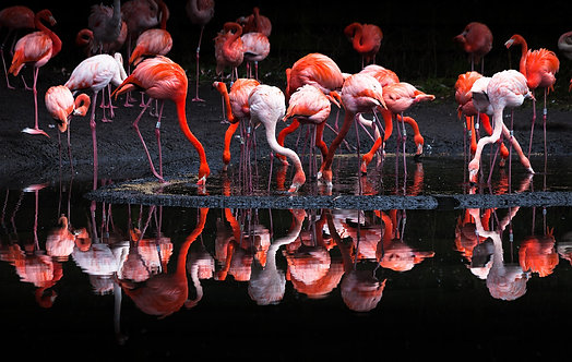 Стая розовых фламинго в воде