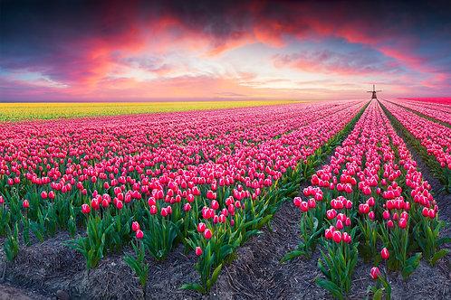Красочный закат над полем тюльпанов в Голландии