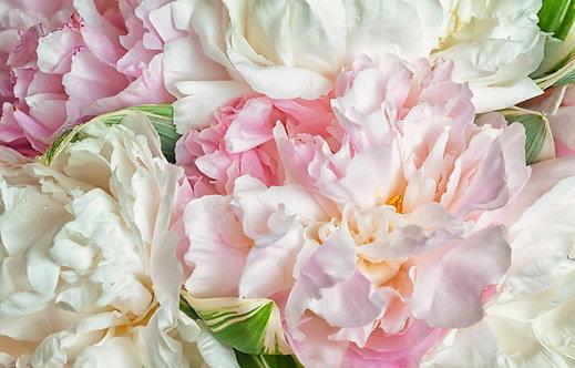 Бело-розовые пионы с каплями росы на лепестках