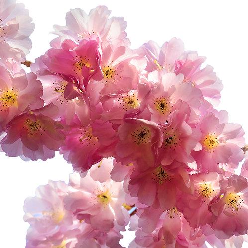 Ветка цветущей сакуры с розовыми цветками на белом фоне
