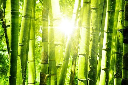Азиатский бамбуковый лес утром в солнечном свете