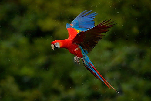 Красивый попугай летит в брызгах дождя