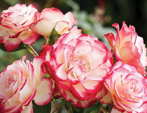 Розовые чайные розы в саду крупным планом