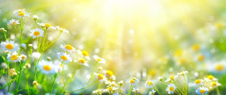 Полевые ромашки в лучах рассеянного солнечного света