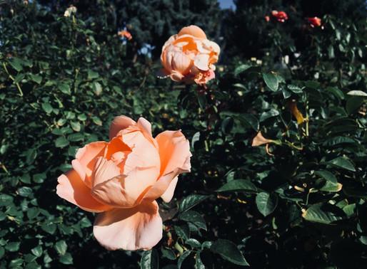 Meeting Jesus in the Rose Garden