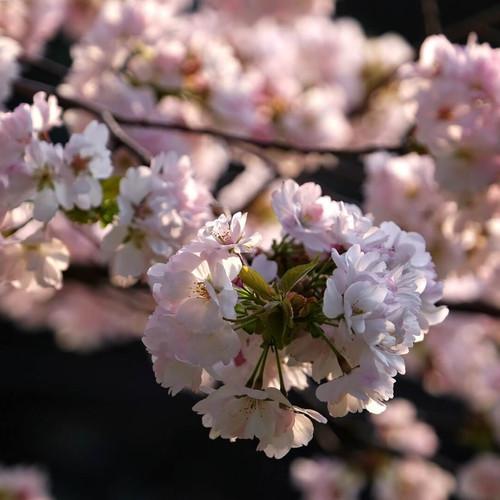Cherry Blossoms in Full Bloom Along the Salt Road, Nagano