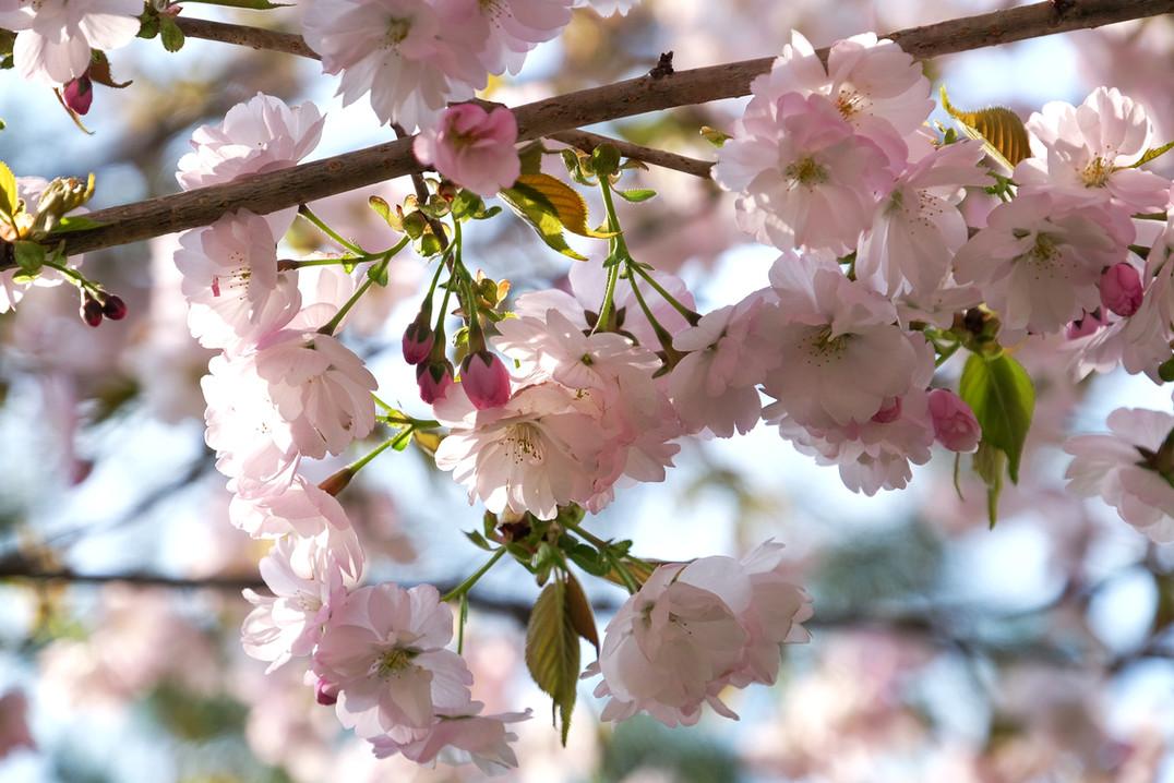 Cherry Blossoms, Otari, Nagano.jpg