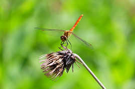Summer Dragonfly, Otari, Nagano.jpg