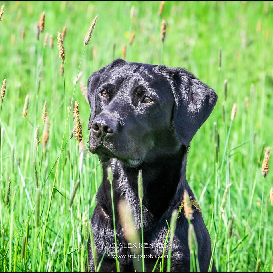 Black Labrador Retriever - Pet photography in wiltshire