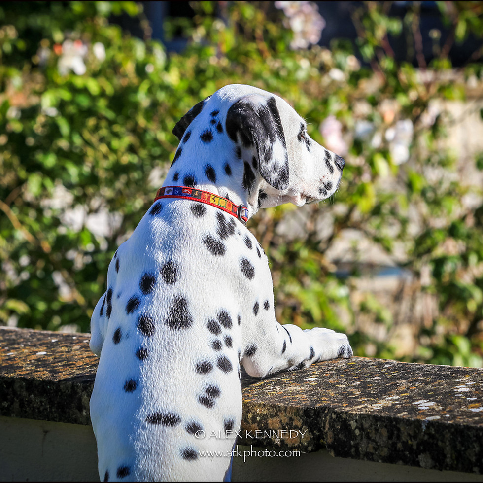 Dalmatian - Pet photography in wiltshire