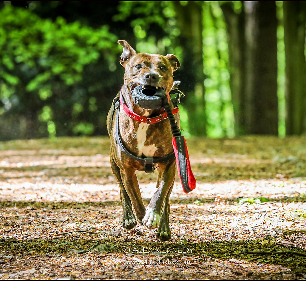 Staffordshire Bull Terrier - pet photography in wiltshire