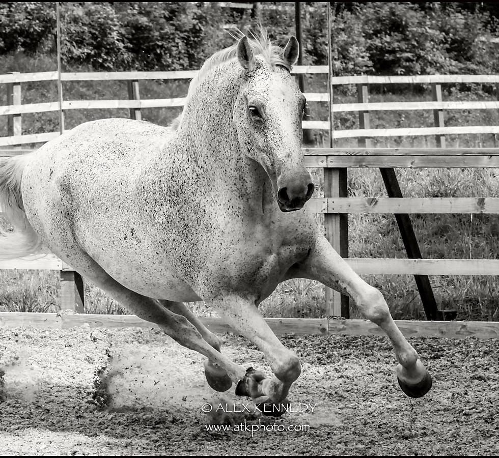 Contemporary bespoke equine portrait photography in Wiltshire - stunning Lipizzaner