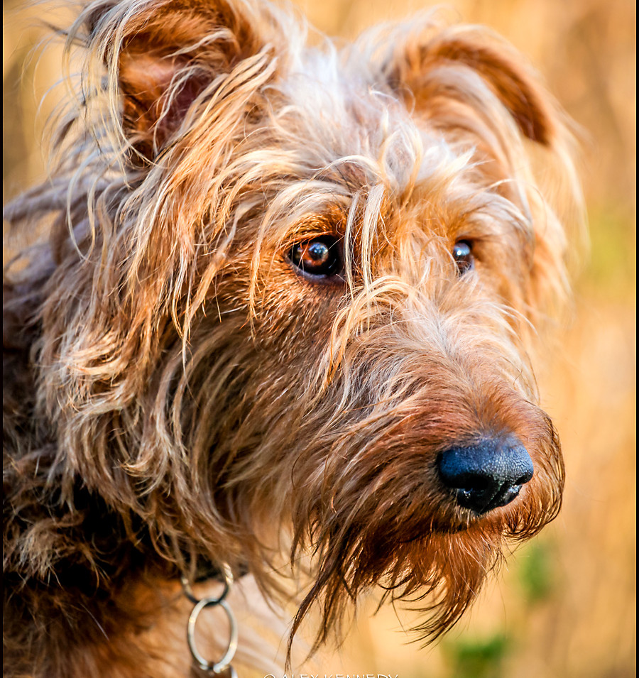 Irish Terrier - Pet photography in wiltshire