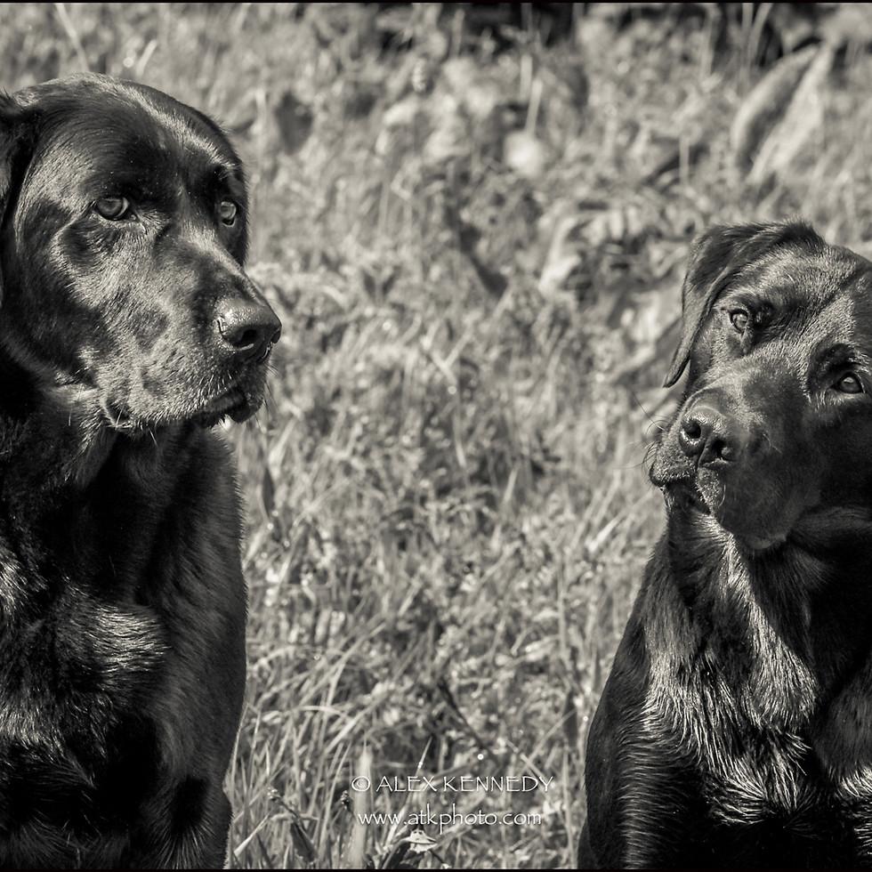Black Labrador Retrievers - Pet photography in wiltshire