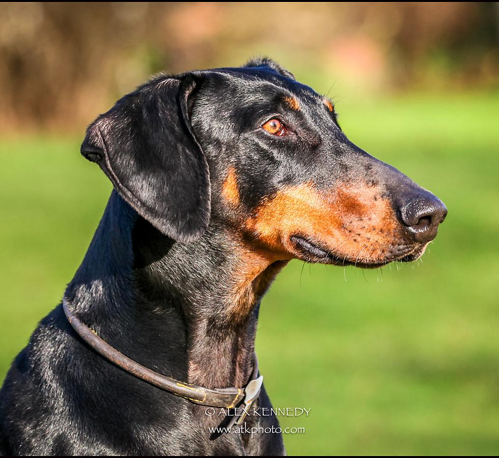Doberman Pinscher - Pet photography in wiltshire