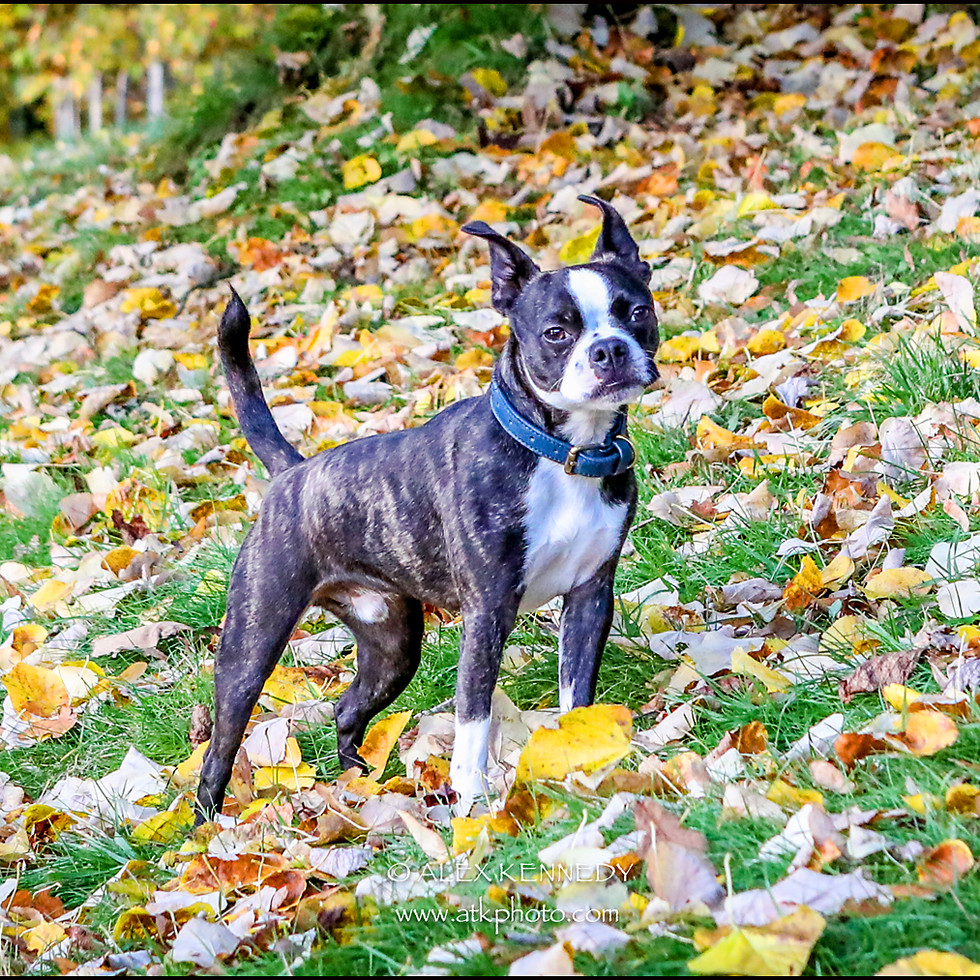 Boston Terrier - Pet photography in wiltshire