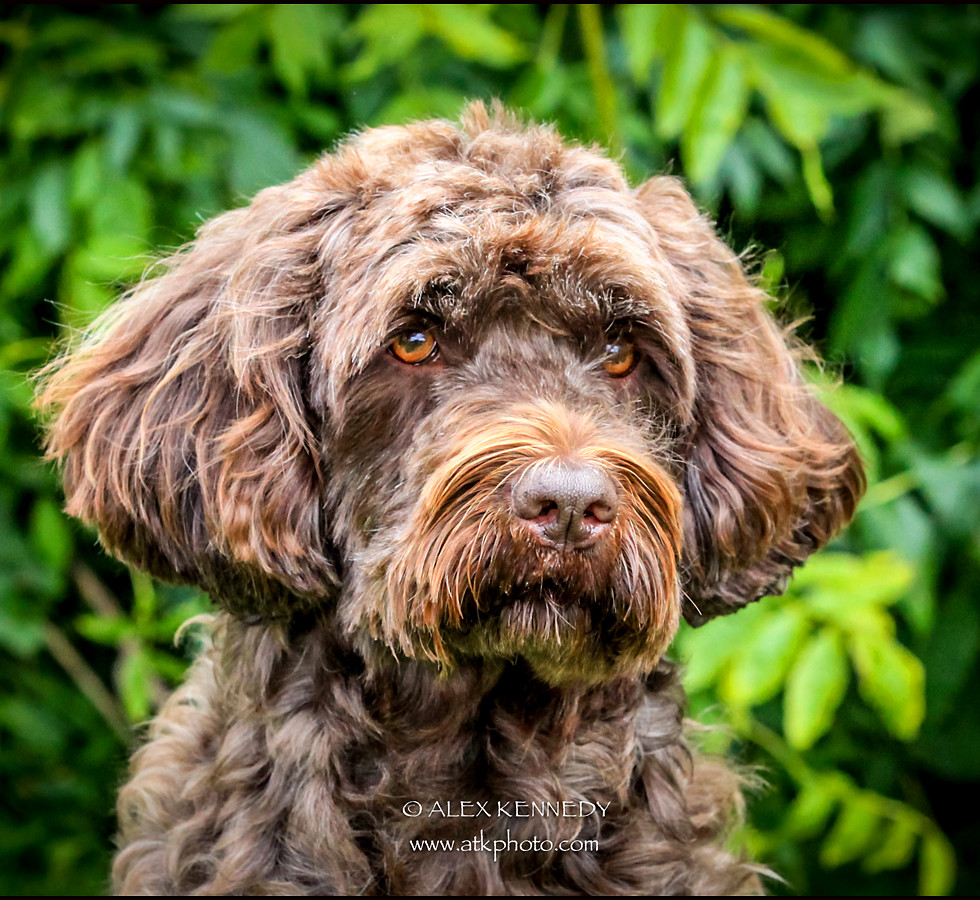 Portuguese Water Dog - Pet photography in wiltshire