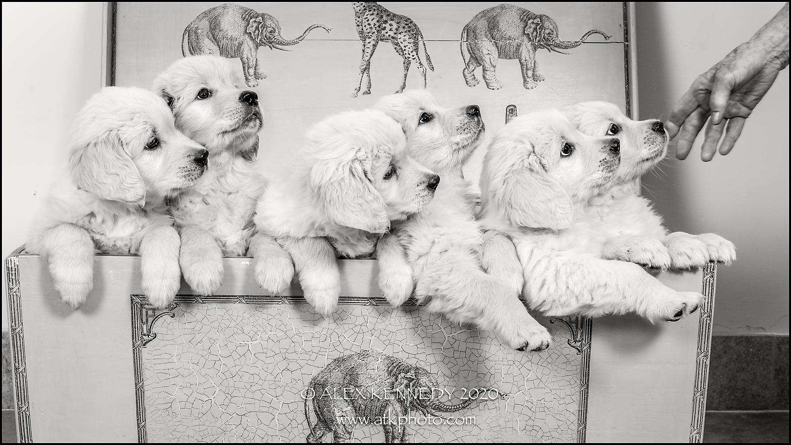 Goldenretrieverpuppies-wiltshirepetphoto