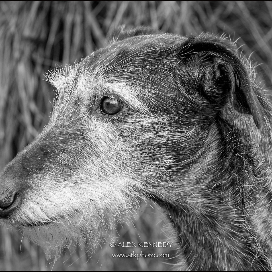 Lurcher - Pet photography in wiltshire