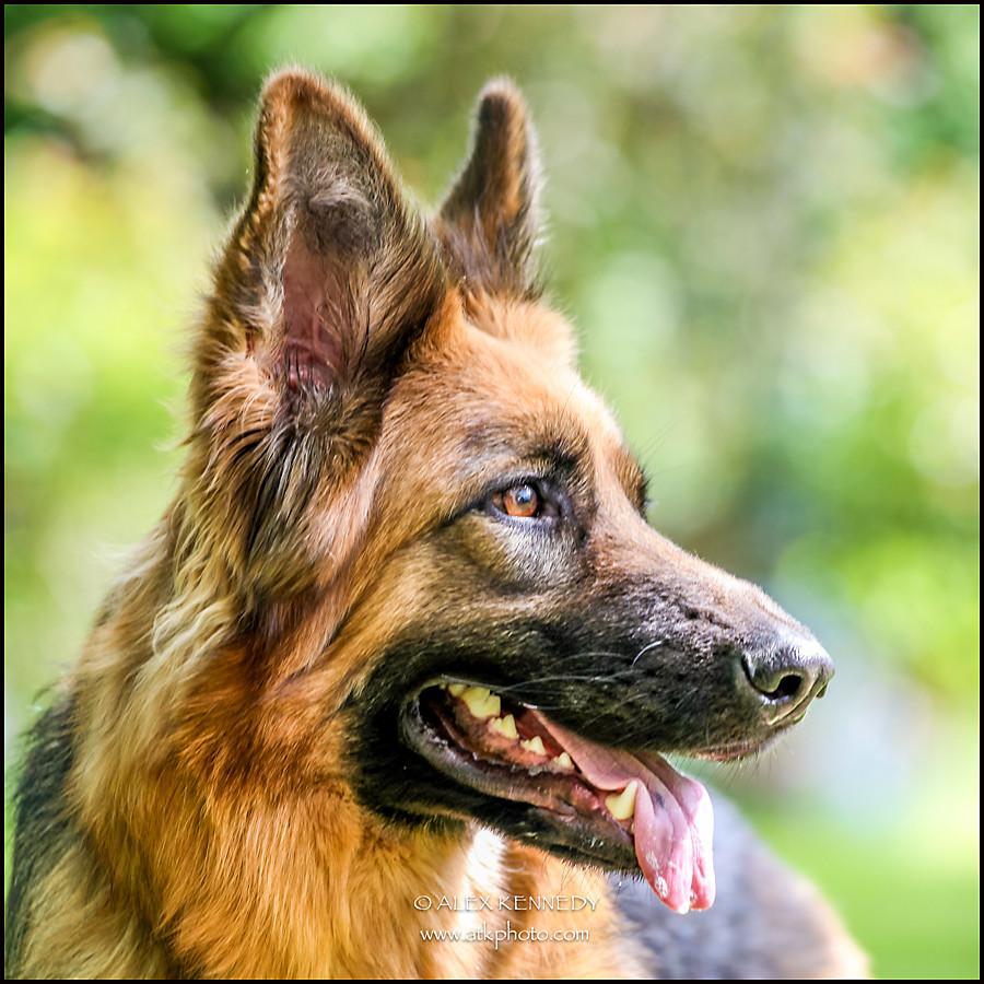 German Shepherd Dog - pet photography in wiltshire
