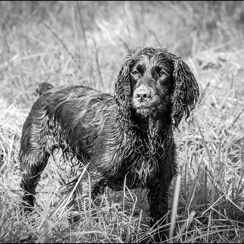 Working Cocker Spaniel - pet photography in wiltshire