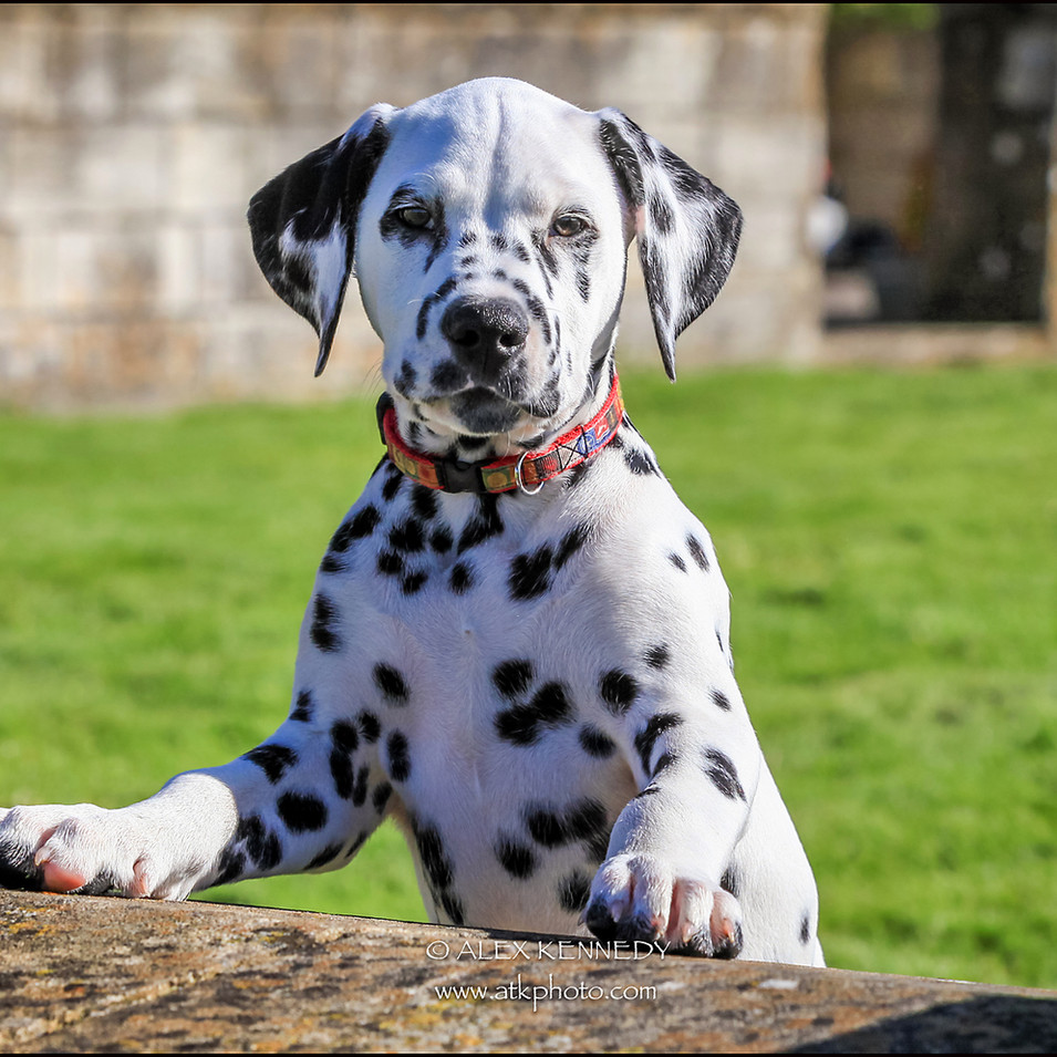 Dalmatian - Pet photographer Wiltshire