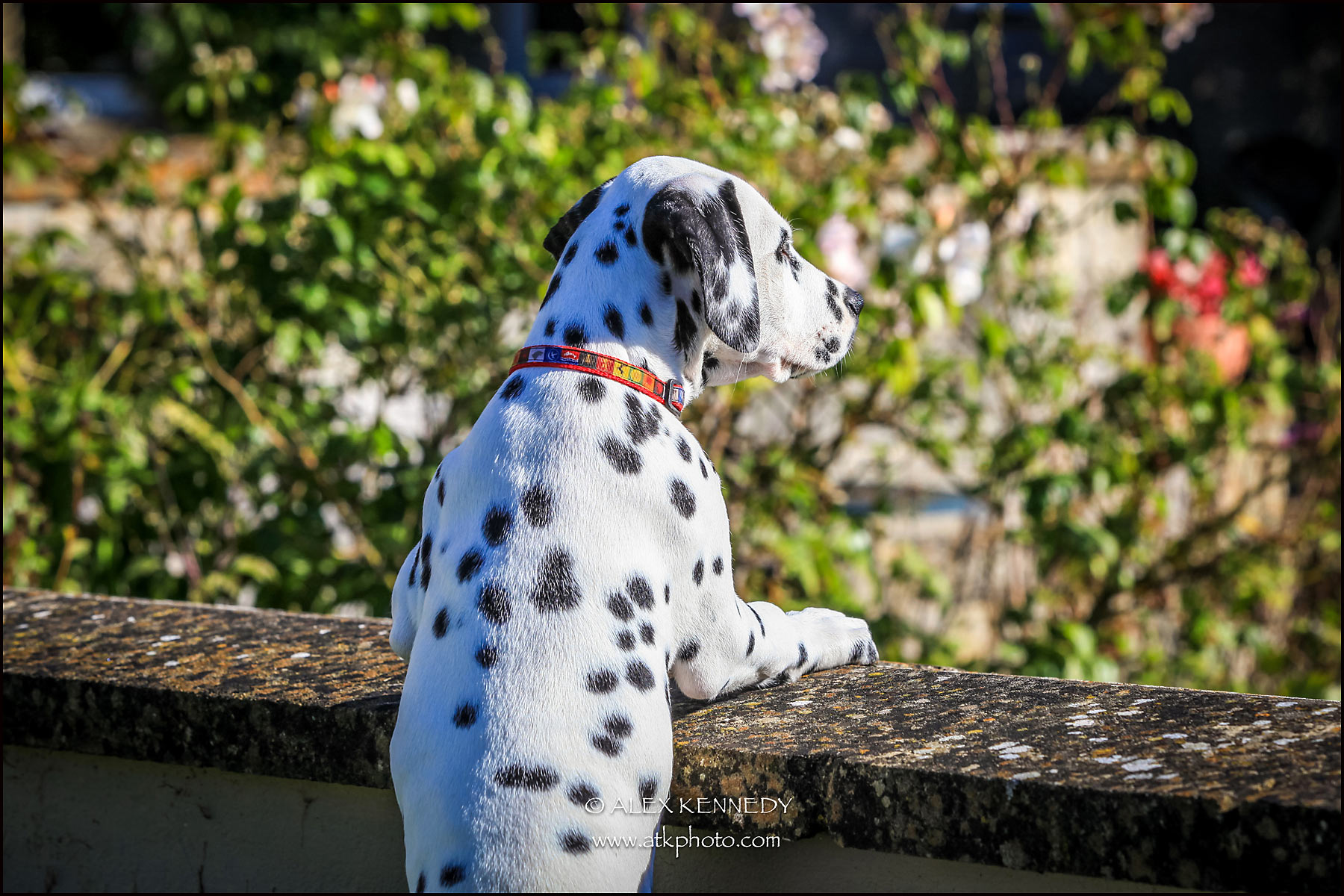 Dalmatian - creative and natural bespoke pet portrait photography - Wiltshire