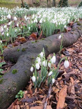 Snowdrop season starts 31 January