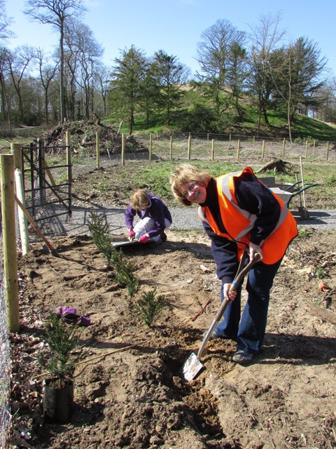 Volunteer Sue planting yew