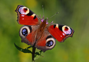 Butterflies at Lytham Hall