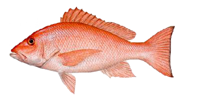 Check out some of the pictures of Fish we have caught off the Coast of Florida on some of our Sport Fishing & Deep Sea Fishing Adventures in the Gulf of Mexico. Fishing Id, gray snapper, coast of florida, gulf of mexico, key west snapper, black tip shark,