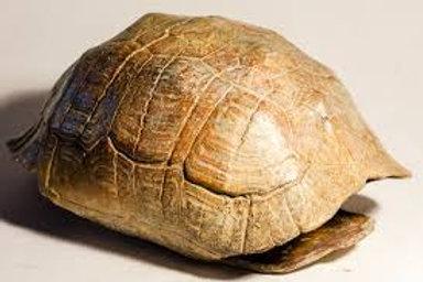 Turtle Sculpture - Sarel Petrus