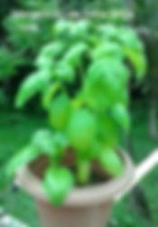 Manjericão verde