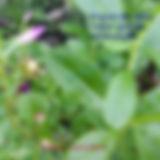 Beldroegão - major gomes - lingua de vaca