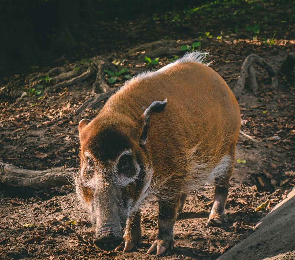 Klaushausen Ferienoase im Haustierhof Reutemühle, hier das Kamerung-Pnselohrschwein