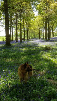 A Walk in Bluebell Woods